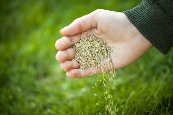 Handful of grass seeds pouring onto field